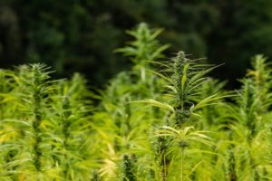 Hemp_field_cannabis_sativa_l_agriculture